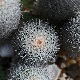 Sharp Balls by Jared Lantzman - Nature Up Close Other plants ( plant, pointy, sharp, pricker, spiny, cactus )