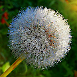 Save My Perfect Shape, Please! by Marija Jilek - Nature Up Close Other plants ( dandelion, nature, plants, seeds, perfect shape )