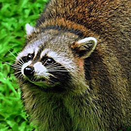 racoon by Kosasih Harris - Animals Other