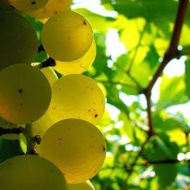 Zlatna Vrbnicka zlahtina by Dalibor Jud - Nature Up Close Gardens & Produce ( zlatna, grapes, vine, croatia, žlahtina, krk, golden, hrvatska, berries, vrbnik, vrbnička )