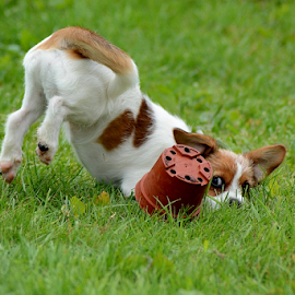 Playtime by Faillie Photos - Animals - Dogs Playing ( dog playing,  )