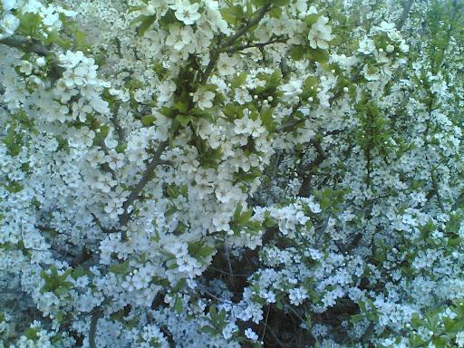 شکوفه درختان قبل از شیرپلا