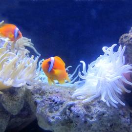 Sea Anenomies & Clown Fish by Jane Spencer - Animals Fish ( sea anenomies, paradise island, aquarium, clown fish, bahamas, atlantis,  )