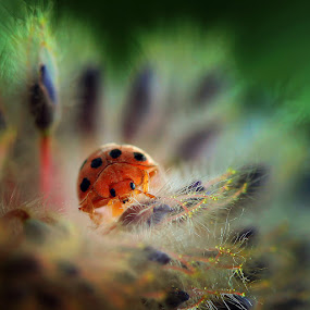 by Achmad Syamsu Hidayat - Animals Insects & Spiders ( macro, red, lady bug, insect, close up, animal )