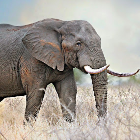 Elephant Bull by Pieter J de Villiers - Animals Other Mammals ( mammals, animals, kruger national park, elephant bull, elephant, south africa,  )