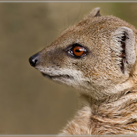 Yellow Mongoose by Renos Hadjikyriacou - Animals Other Mammals ( animals, yellow mongoose )