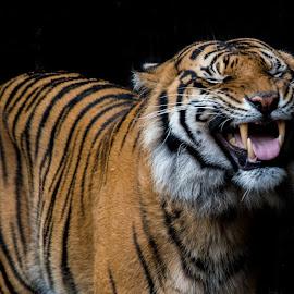 Laughing Tiger by David Whelan - Animals Lions, Tigers & Big Cats ( sumatran tiger )