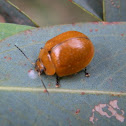 Eucalyptus Leaf Beetle