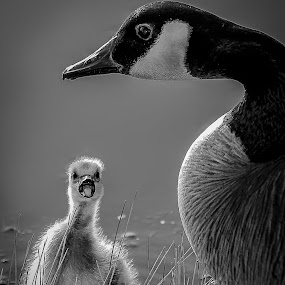 Mama! by Ron Meyers - Black & White Animals