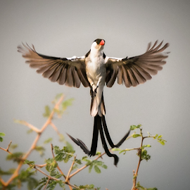 Pin-Tailed Whydah Mating Display by Kyle Perler - Animals Birds