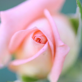 solitary rose by Erika Ramsay - Novices Only Flowers & Plants ( rose, macro, pink, bokeh, garden, flower )