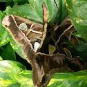 Rothschilds Moth mating