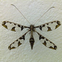 Blotched Long-horned Owlfly