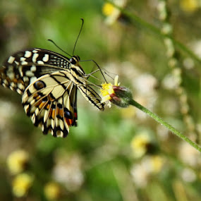 butterfly by Djamal Sharief - Animals Insects & Spiders ( butterfly )