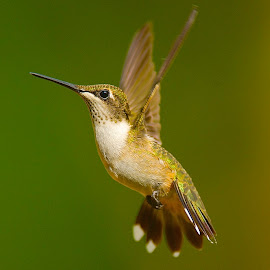 Looking Up! by Roy Walter - Animals Birds ( flight, wild, animals, nature, birds, hummingbirds )
