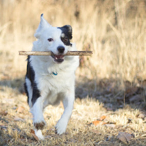 Mah Stick by Christy Borders - Animals - Dogs Running ( playing, shepherd, stick, dog, aussie )