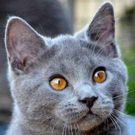 Inox by Serge Ostrogradsky - Animals - Cats Kittens ( chartreux, chat )