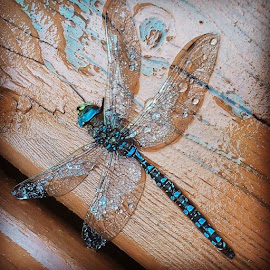 Found this poor lil guy on the deck. :( #dragonfly #blue #notsolucky #insect by Cindy Dupont - Instagram & Mobile Android ( blue, wings, beautiful, notsolucky, insect, deck, dragonfly, rain )