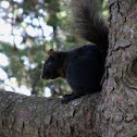 Eastern Gray Squirrel, melanistic