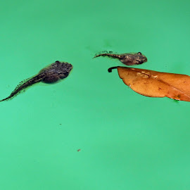 Tadpoles by Tony Fruciano - Animals Reptiles (  )