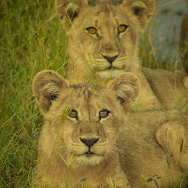 Brubs by Paul Runze - Animals Lions, Tigers & Big Cats ( 2014 botswana, lion, cat, family, okavango x delta )
