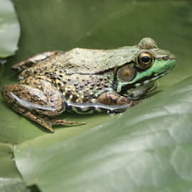 Mr Frog by John Forrant - Animals Amphibians