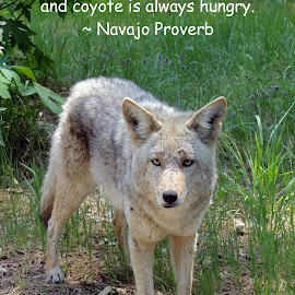 Coyote Is Always Out There...and Coyote is Always Hungry by Penny McWhirt - Typography Quotes & Sentences ( coyote, animals, quotes, california, yosemite national park, typography )