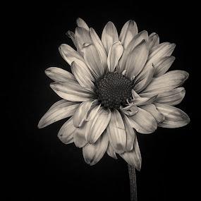 Sepia Flower by Martin Belan - Black & White Flowers & Plants ( sepia, macro, black and white, flower,  )