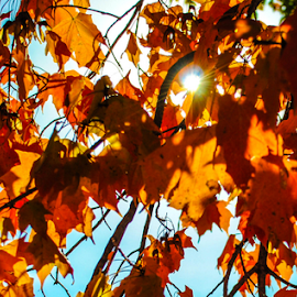 Maple tree in autumn by Del Candler - Nature Up Close Trees & Bushes ( orange, backlit, sky, missouri, red, autumn, blue, fall, leaves, maple, color, colorful, nature )