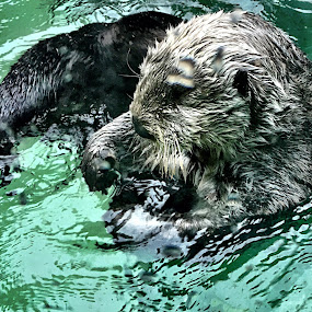 Sea Otter by Charline Ratcliff - Animals Sea Creatures ( otter, cute animals, sea otter )