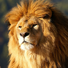 Lion by Chris Bartell - Animals Lions, Tigers & Big Cats ( lion, cat, safari, male, africa, closeup, regal,  )