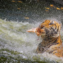 by Asher Jr Salvan - Animals Lions, Tigers & Big Cats
