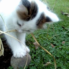tugging hard by Lyz Amer - Animals - Cats Kittens ( kitten )