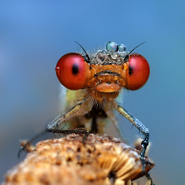 red Sonya by Ondrej Pakan - Animals Insects & Spiders ( macro, damselfly, insect, dragonfly )