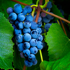 Harvest Time by Candee Watson - Food & Drink Fruits & Vegetables ( wine, purple, vines, grapes, green, fruits, harvest, leaves )