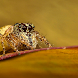 Momma Hunting by Dave Lerio - Animals Insects & Spiders ( salticidae, jumping spider,  )