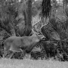 King of he forrest. by Todd Sowels - Animals Other Mammals ( b&w, forrest, park, nature, antlers, buck, trees, portrait, deer )