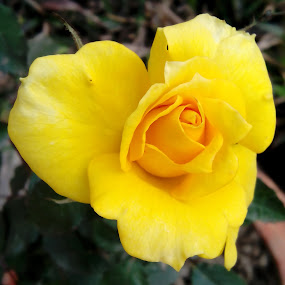 Rose-2 by Topu Saha - Flowers Single Flower ( rose, roses, yellow, garden, mobile,  )