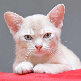 Jack by Mia Ikonen - Animals - Cats Kittens ( beautiful, finland, cute, burmese, cream )
