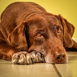 Brownie by Troy Wheatley - Animals - Dogs Portraits ( chocolate, dog, lab )