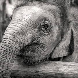 The Cheerful Elephant by Low YingTong - Animals Other Mammals ( black and white, happy, elephant, thailand, cute, cheerful, mammal, animal )