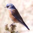 Western Bluebird