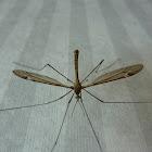 Daddy Longlegs/ Crane Fly
