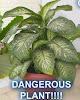 Gambar preview Tanaman Hias Berbahaya