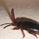 Bombadier Ants' Guest Beetle