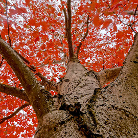 The Red Canopy by Barbara Brock - Nature Up Close Trees & Bushes ( leaves in the fall, autumn leaves, tree canopy of leaves, looking up at the tree, red leaves )