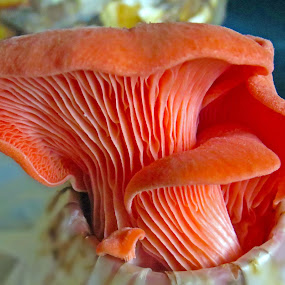 Delicious Bloom by Alan Chew - Nature Up Close Mushrooms & Fungi ( mushroom, orange, bloom, delicious, , Food & Beverage, meal, Eat & Drink )