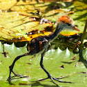 Comb-crested Jacana ( Chick )
