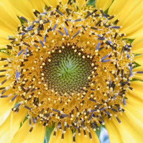 Center of Sunflower by Donna Probasco - Novices Only Flowers & Plants (  )