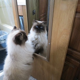 Ben looks in a mirror by Theresa Campbell - Animals - Cats Playing ( cat, himalayan, pet, mammal, animal )